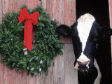 Holstein Cow in Barn with Christmas Wreath, WI
