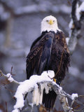 Bald Eagle, Chilkat River, AK