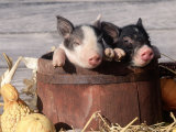 Mixed-Breed Piglets in a Barrel