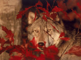 Gray Wolf Peeking Through Leaves