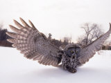 Great Gray Owl, Rowley, MA