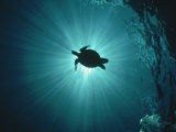 Buy Silhouette of Underwater Sea Turtle from Beneath at AllPosters.com