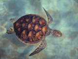Green Turtle, Java, Indian Ocean
