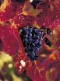 Grapes Ready for Harvest, Napa Valley, CA