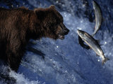 Grizzly Bear and Salmon, Brooks Falls, Katmai, AK