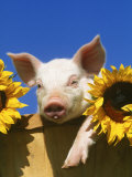Pig with Sunflowers in Bushel