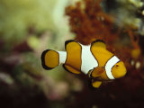 Clown Fish, Great Barrier Reef, Australia