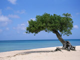 Divi Tree, Aruba