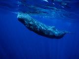 Sperm Whale, Juvenile, Portugal