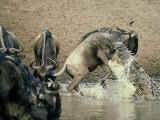Nile Crocodile, Attacks Wildebeest, Serengeti, Tz