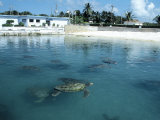 Green Sea Turtles, Turtle Farm, Grand Cayman