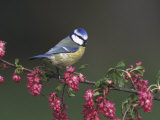 Blue Tit, Perched on Wild Currant Blossom, UK