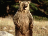 Grizzly Bear Standing in Field