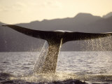 Blue Whale, Fluking, Sea of Cortez