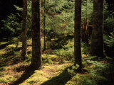 Buy Moss Spruce Trees, Acadia National Park, ME at AllPosters.com