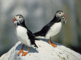 Atlantic Puffins with Fish, Machais Sea Island, ME