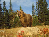 Grizzly Bear on Rock in Grassy Field, MT