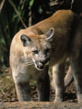 Florida Panther (Felis Concolor), FL