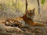 Bengal Tiger, Female Resting, Madhya Pradesh, India