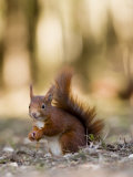 Red Squirrel, Sat on Ground in Leaf Litter, Lancashire, UK
