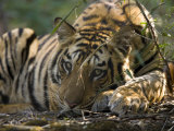 Bengal Tiger, Close-up Profile of Large Male Tiger Laying on Ground, Madhya Pradesh, India