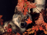 Gray Wolf Peeks Through Leaves, Canis Lupus