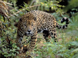 Jaguar in the Wild