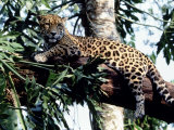 Jaguar Lying on a Tree Limb, Belize