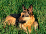 German Shepherd Lying in Grass