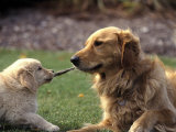 Golden Retriever Dog and Puppy