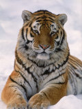 Siberian Tiger in Snow, Panthera Tigris Altaica