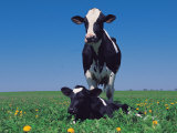 Holstein Cow and Calf, IL