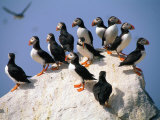 Puffins on Rock at Machias Seal Island
