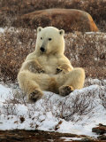 Polar Bear, Ursus Maritimus, Churchill, Manitoba