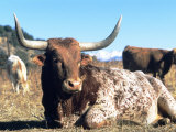 Texas Longhorn, Resting, Colorado, USA