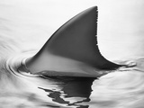 Shark Fin Photographic Print