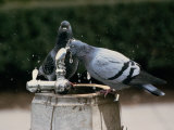 Pigeons Drinking from an Outdoor Water Fountain