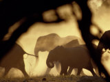 African Elephants on the Move During the Dry Season