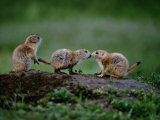 Prairie Dogs Touch Noses in a Possible Prelude to Kin Recognition