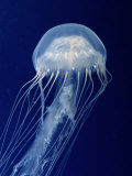 Buy Sea Nettle at AllPosters.com