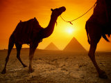 Dromedary Camels with the Pyramids of Giza in the Background