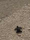 A Newly-Hatched Green Sea Turtle Makes its Way Towards the Waters Edge
