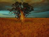 A Boab Tree