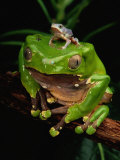 A Frog Perched on a Branch with a Baby Frog on its Back