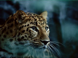 An Amur Leopard at the Minnesota Zoological Gardens