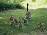 A Canada Goose with its Goslings