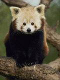 A Nepalese Red Panda Sits on a Tree Branch
