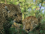 Leopards Nuzzle in the Heat of the Day