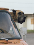 View of a Great Dane Sticking its Head out a Window of a Parked Car