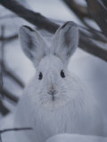 Snowshoe Hare with Big Ears